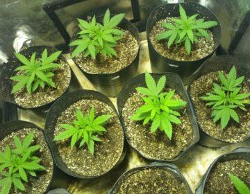 TJ de Minas autoriza ancião a plantar 'cannabis' em casa